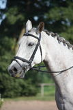Beautiful sport horse portrait during dressage test Stock Photos