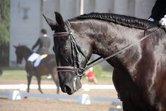 Beautiful sport horse portrait during dressage test Stock Images