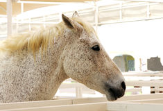 A beautiful spotted arabian horse side view Royalty Free Stock Photo