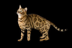 Beautiful spotted Bengal Stock Image
