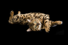 Beautiful spotted Bengal playing with feather Stock Photography