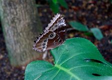 Beautiful spotted butterfly on a leaf Royalty Free Stock Photography