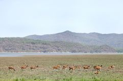 Beautiful Spotted deer in the grassland of Dhikala Royalty Free Stock Photo