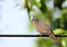Beautiful Spotted Dove Royalty Free Stock Photography