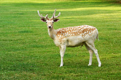 Beautiful spotted fallow deer buck Stock Photos