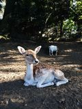 Fallow deer in autumn park stock image