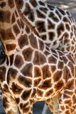 Beautiful spotted fur coat of two African giraffes Royalty Free Stock Photography