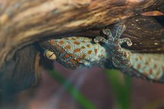 Beautiful spotted Gecko Toki sitting on a branch upside down in stock images