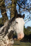 Beautiful spotted horse Stock Photos
