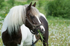 Beautiful spotted horse Royalty Free Stock Photos