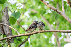 Beautiful spotted owlet. Athene brama Royalty Free Stock Photos