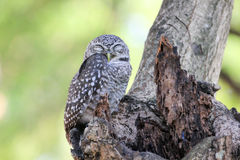 Beautiful spotted owlet. Athene brama Royalty Free Stock Image
