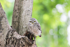 Beautiful spotted owlet. Athene brama Royalty Free Stock Photo