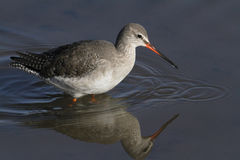 A beautiful Spotted Redshank Tringa erythropus hunting for food along the shoreline. Stock Photography
