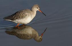 A beautiful Spotted Redshank Tringa erythropus hunting for food along the shoreline. Stock Photos