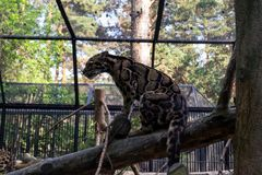 A beautiful spotted smoky leopard sits on a tree orchered with a lattice stock photo