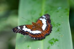 Beautiful Spread. Butterfly spread its wings showing beautiful pattern Royalty Free Stock Image