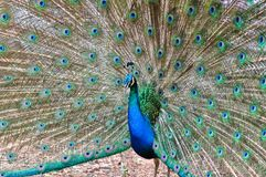 Beautiful spread of a peacock Royalty Free Stock Image
