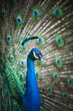 Beautiful spread of a peacock Royalty Free Stock Images
