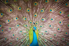 Beautiful spread of a peacock Stock Photos