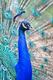 Beautiful spread of a peacock Royalty Free Stock Photos