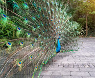 Beautiful spread of peacock Royalty Free Stock Photo