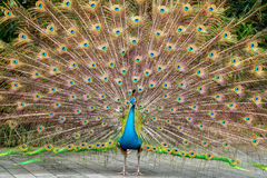 Beautiful spread of peacock Stock Photography