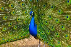 Beautiful spread of a peacock. beautiful peaco Royalty Free Stock Image