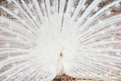 Beautiful spread of white peacock Royalty Free Stock Photos
