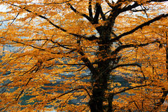 Beautiful spreading brightly lit autumn tree branches in golden leaves. Fall background Royalty Free Stock Photos