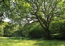 Beautiful spreading tree in Wicklow Royalty Free Stock Photos