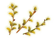 Beautiful sprig of willow Royalty Free Stock Photo
