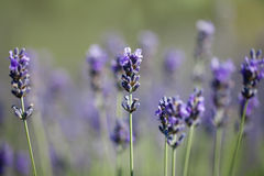Beautiful sprigs of lavender Stock Photography