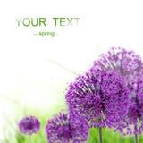 Beautiful spring allium Royalty Free Stock Photography