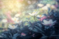 Beautiful spring anemone flower bloom close-up in forest on artistic background with a soft focus. Floral nature. Greeting card stock images