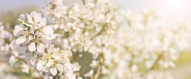 Beautiful spring background, branches of blossoming cherry with soft focus. For Easter and spring cards with copy space royalty free stock photography