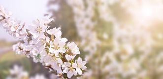 Beautiful spring background, branches of blossoming cherry with soft focus. For Easter and spring cards with copy space stock image