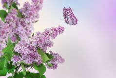 Beautiful spring background. Butterfly flies to a lilac flower. Beautiful abstract spring background. Butterfly flies to a lilac flower stock image