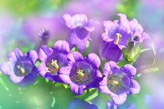 Beautiful spring background with campanula bouquet. Royalty Free Stock Photography