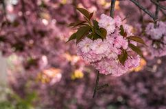 Beautiful spring background with cherry blossom. Pink tender buds on branches stock photo