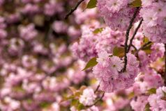 Beautiful spring background with cherry blossom. Pink tender buds on branches royalty free stock photography