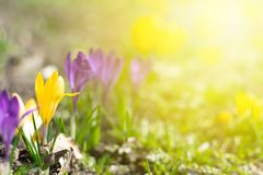 Beautiful spring background with close-up of blooming yellow and purple crocus. First flowers on a meadow in park under bright sun royalty free stock image