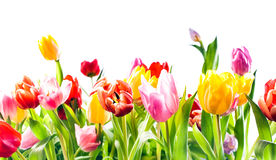 Beautiful spring background of colourful tulips Royalty Free Stock Photo