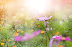 Beautiful spring background. Cosmos flowers on meadow in sunny day Stock Photos