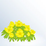 Beautiful spring background with Eranthis Cilicica in snow for congratulations with spring or Women`s Day. Holiday. Beautiful spring background with Eranthis Stock Photos