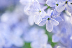 Beautiful spring background with lilac Royalty Free Stock Image