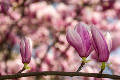 Beautiful spring background with magnolia flowers. Pink tender buds on branches Royalty Free Stock Photo