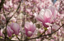 Magnolia flower blossom in spring. Beautiful spring background. Magnolia flowers closeup on a branch. blurred background of blossoming garden Stock Photos