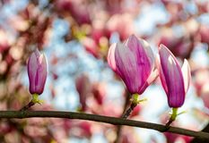Magnolia flower blossom in spring. Beautiful spring background. Magnolia flowers closeup on a branch. blurred background of blossoming garden Stock Image
