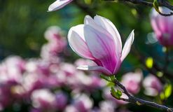 Magnolia flower blossom in spring. Beautiful spring background. Magnolia flowers closeup on a branch. blurred background of blossoming garden Stock Images